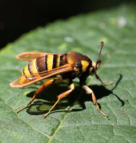 another hornet moth , explored!