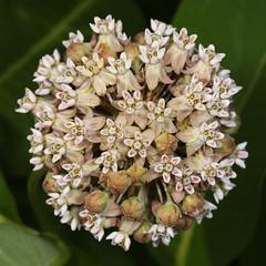 Common Milkweed - Asclepias syriaca, Meadowood SRMA, Mason Neck, Virginia