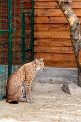 Beautiful fluffy lynx sits in a metal cage in ecopark