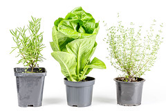 Thyme, rosemary and romaine salad in flower pots
