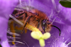 Bellflower Blunthorn Bee (Melitta haemorrhoidalis)