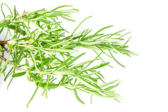 Branches of fresh green rosemary on a white background