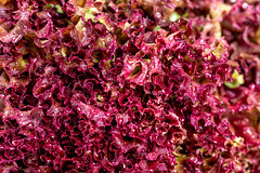 Red lettuce with drops of water, close-up