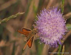 FIELD SCABIOUS: Knautia arvensis