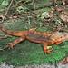 Orange Green Iguana
