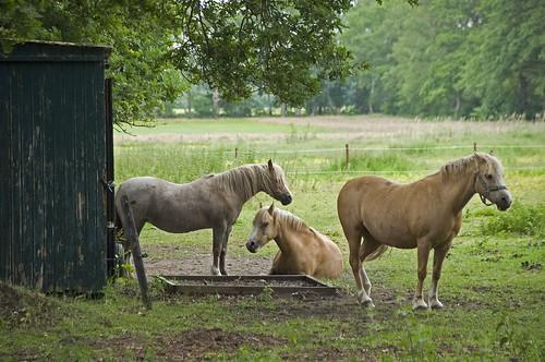 Paarden in Aalden