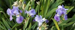 Flag Iris in Victorian garden Quex House Birchington Kent England