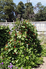 Bean cultivation in Victorian garden Quex House Birchington Kent England