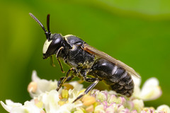 Mignonette Yellow-face bee (Hylaeus signatus)