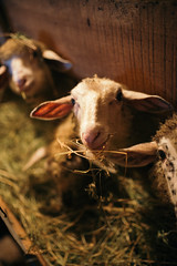 Hungry sheep eating dinner closeup.
