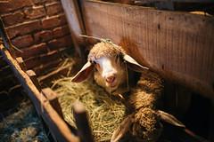 Hyngry sheep portrait.