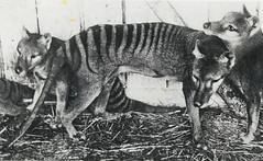 Thylacines (Tasmanian Tigers), at Beaumaris Zoo, Hobart, ca. 1918, State Library of New South Wales
