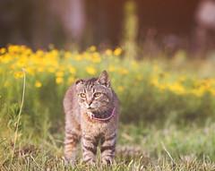 Allie Cat in flower field