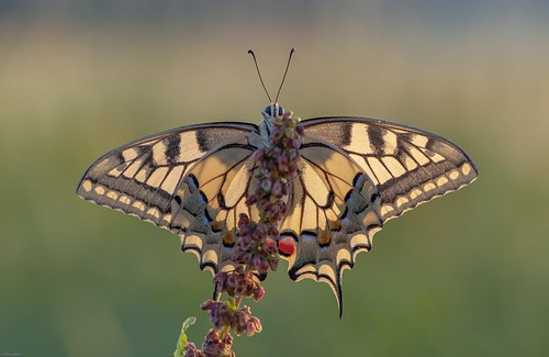 *the cheeky swallowtail*