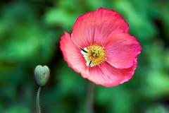 Poppy Splendour!