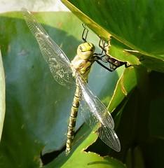 Southern Hawker. Aeshna cyanea. female