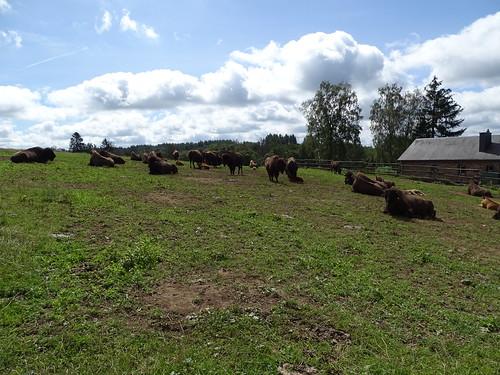 Bison Ranch à Orchimont