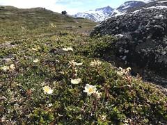 Reinrose (Dryas octopetala) og bleikmyrklegg