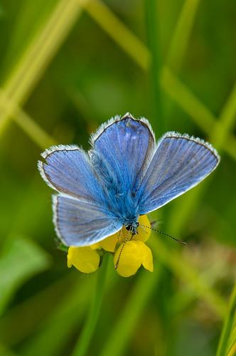 Icarusblauwtje - polyommatus jurtina