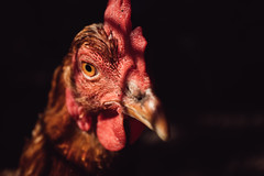 Close-up of a beautiful brown hen with dark background
