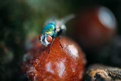Close-up picture of a fly on a rotten plum on the forest ground