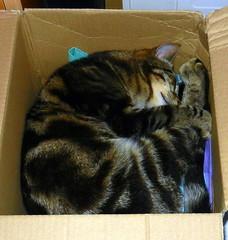 Charles asleep in a cardboard box.