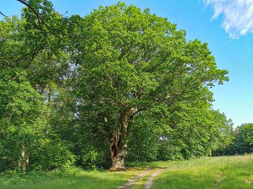 Insel Usedom - alte Eiche bei Mellenthin