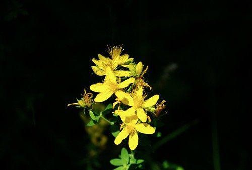 Blüte Johanniskraut