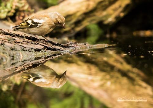 Hawfinch (2)