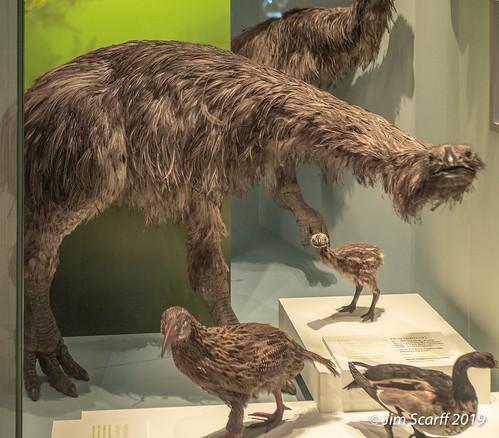 One of the extinct flightless Moa species