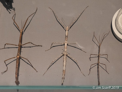 Now these are stick insects!