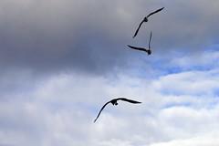Gulls shoo an Eastern Osprey