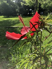 Profile of a Texas Star Hibiscus