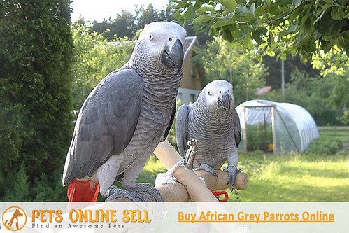 Purchase African Grey Parrots Online | Pets Online Sell