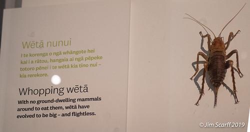 The huge, endemic flightless Weta