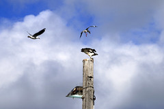Gull bombing an Eastern Osprey