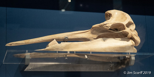 Gray's Beaked Whale? a species found in the cool waters of the southern hemisphere.