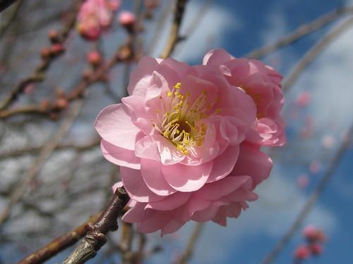 Ornamental Cherry Blossoms in Winter