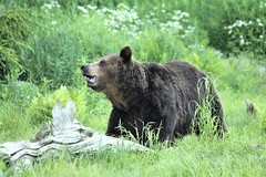 Brown bear in wilderness