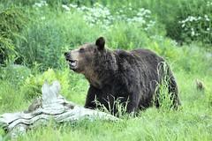Brown bear in wilderness