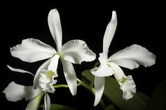 Cattleya warneri fma. alba 'Extra' T.Moore ex R.Warner, Select Orchid. Pl.: t. 8 (1862)
