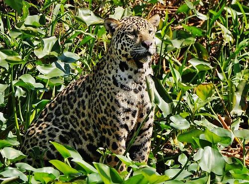 Jaguar (Panthera Onca) At The Water's Edge