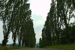 Poplar Avenue, Hokkaido University.