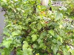 Blackcurrant Bushes