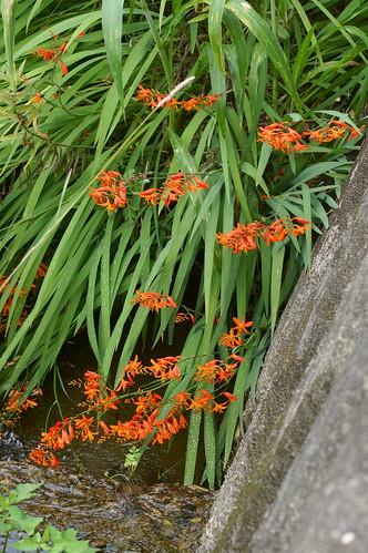 ヒメヒオウギズイセン/Crocosmia × crocosmiiflora