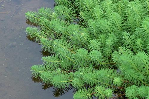 オオフサモ/Myriophyllum aquaticum