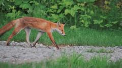 Ezo Red Fox.