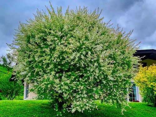 Blooming bush in Thierberg in Tyrol, Austria
