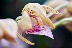 Cyc.cooperi Jean Monnier orchid