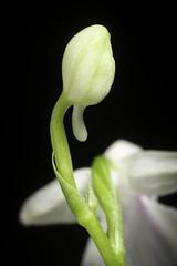 Ponerorchis graminifolia var. kurokamiana fma. semi alba '雪姫 - Yukihime (Snow Princess)' (Hatus. & Ohwi) T.Hashim., Proc. World Orchid Conf. 12: 119 (1987)